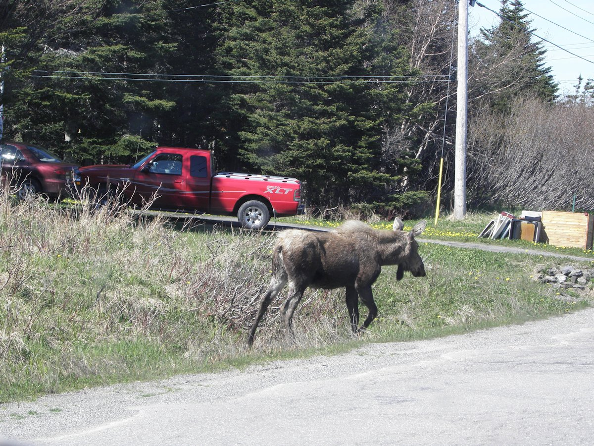 Moose, near Ship's Cove, NL