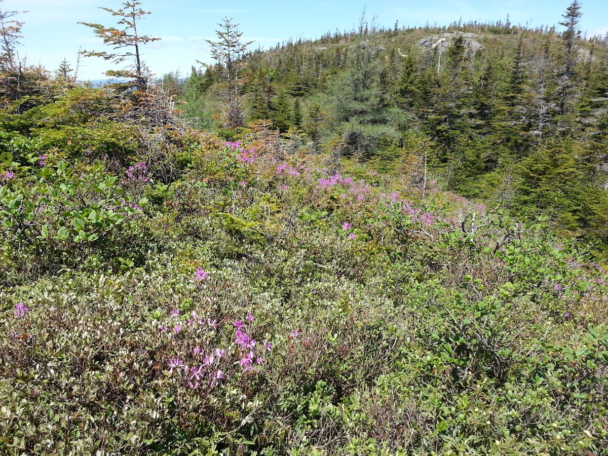 Wild Rhododendrons on the Erin Mountain Trail in Barachois Pond Provincial Park, NL